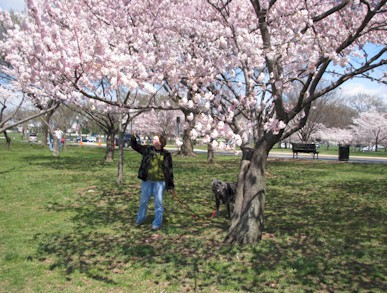 Cherry trees along the Potomac