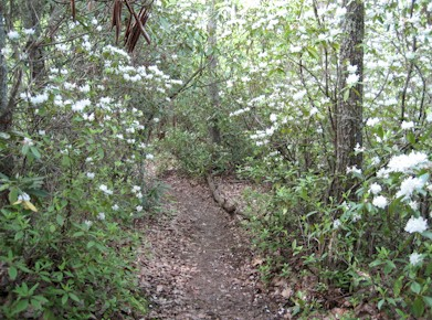 Mountain Laurels along the AT