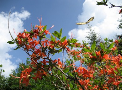 Swallowtail and flame azalea