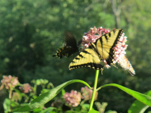 Milkweed with butterflies