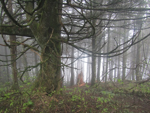 Misty forest near Clingman's Dome